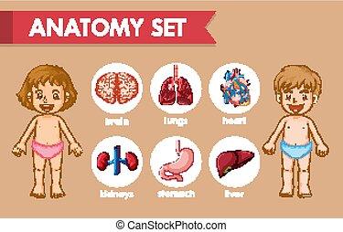 kinder, wissenschaftlich, medizinische abbildung, koerperbau, menschliche