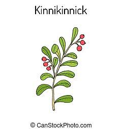 Kinnikinnick Arctostaphylos uva-ursi , oder Bärenbeere Zweig mit Beeren