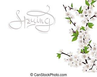 Kirschfederzweig mit weißen Blumen