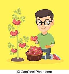 Kleiner weißer Farmerjunge, der Tomaten erntet.