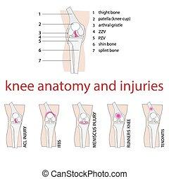 Knie-Anatomie.