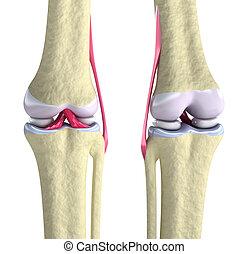 Kniegelenk mit Bändern