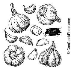 Knoblauch-Hand gezeichnete Vektorgrafik eingestellt. Isoliertes Gemüse, C