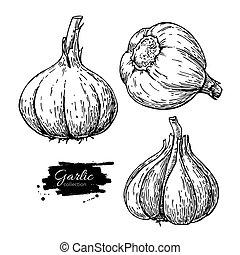 Knoblauch-Hand gezeichnete Vektorgrafik eingestellt. Isoliertes Gemüse en