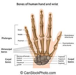 Knochen der Hand, Eps8