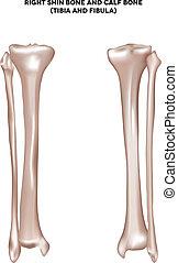 Knochen und Kalbsknochen
