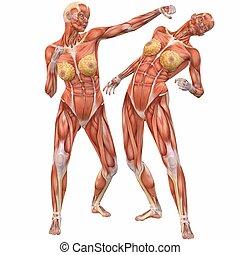 koerper, anatomy-street, weibliche , menschliche , kampf