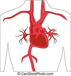 koerper, arterie, system, menschliche