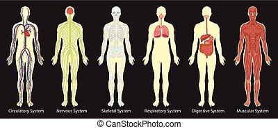 koerper, diagramm, systeme, menschliche