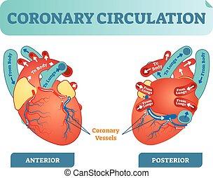 koerper, herz, zirkulation, lungen, diagramm, abschnitt, body., fließen, kreuz, abbildung, zurück, anatomisch, etikettiert, vektor, durch, blut, stromkreis, koronar, scheme.