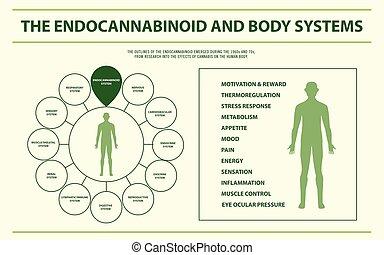 koerper, infographic, horizontal, endocannabinoid, systeme