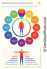 koerper, infographic, senkrecht, geschaeftswelt, endocannabinoid, systeme