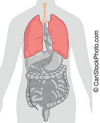 koerper, koerperbau, -, menschliche , lungen
