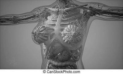 koerper, koerperbau, tomographie, menschliche , überfliegen