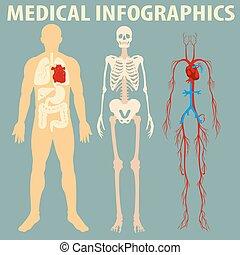 koerper, medizin, infographic, menschliche
