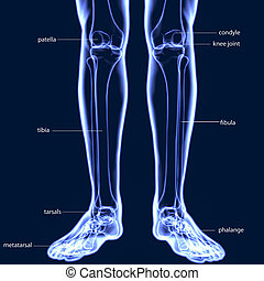 koerper, menschliche , (leg, gelenke, abbildung, koerperbau, gelenk, wehen, bones), knochen, 3d