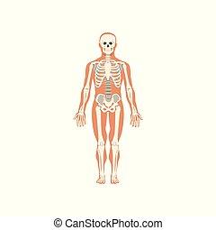 koerper, menschliche , skelettartiges system, abbildung, koerperbau, vektor, hintergrund, weißes
