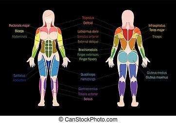 koerper, muskeln, gefärbt, tabelle, schwarze frau, muskel