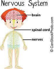 koerper, nervös, menschliche , system