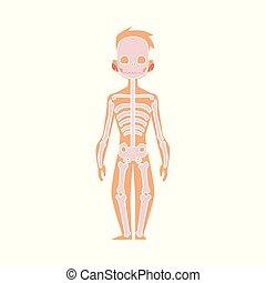 koerper, wohnung, skelett, koerperbau, vektor, menschliche , struktur