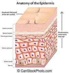 koerperbau, 3d, epidermis