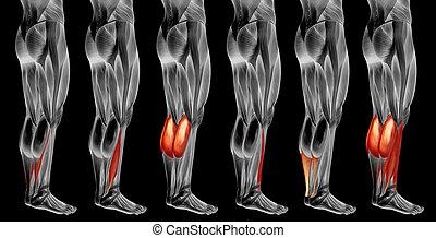 koerperbau, 3d, muskel, oder, satz, sammlung, unterschenkel, anatomisch, menschliche