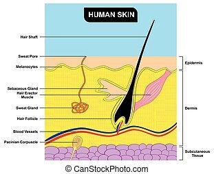 koerperbau, abschnitt, kreuz, diagramm, menschliche haut
