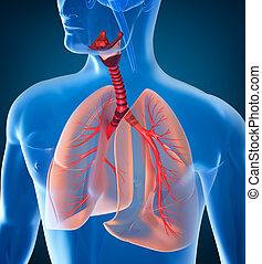 koerperbau, atmungssystem, menschliche