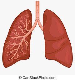 koerperbau, diagramm, lunge, menschliche
