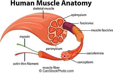 koerperbau, diagramm, muskel, menschliche