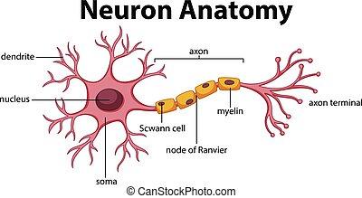 koerperbau, diagramm, neuron