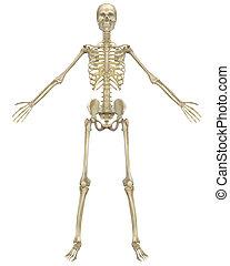 koerperbau, front, skelett, menschliche , ansicht