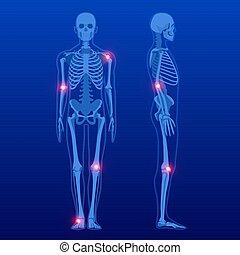 koerperbau, front, skelett, profile., x-ray., menschliche