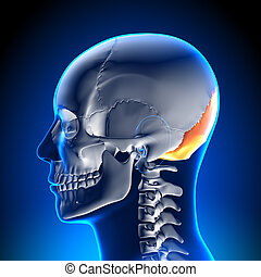 koerperbau, gehirn, -, knochen, occipital