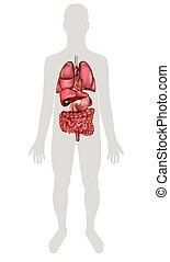 koerperbau, innere organe, menschliche