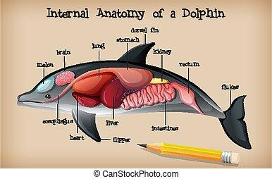 koerperbau, intern, delfin