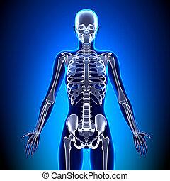 koerperbau, knochen, -, skelett, weibliche