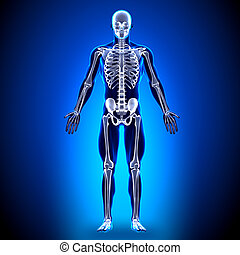 koerperbau, knochen, -, skelett