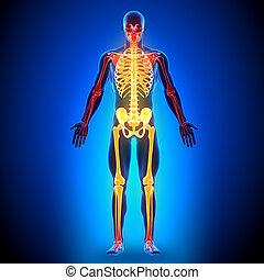 koerperbau, knochen, voll, -, skelett