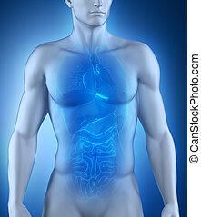 koerperbau, mann, organe