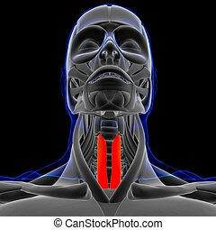 koerperbau, medizin, muskel, sternothyroideus, 3d, begriff