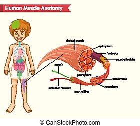 koerperbau, medizin, muskel, wissenschaftlich, abbildung