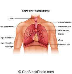 koerperbau, menschliche , lungen