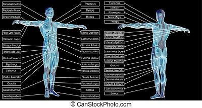 koerperbau, menschliche , mann, 3d, text, muskel