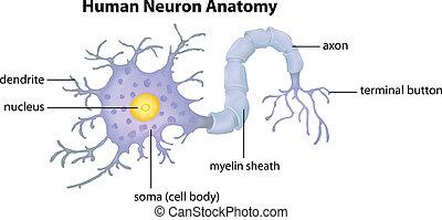 koerperbau, neuron, menschliche