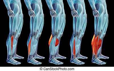 koerperbau, oder, senken, satz, menschliches bein, 3d, muskel, sammlung, anatomisch