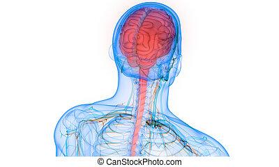 koerperbau, organ, nervös, gehirn, system, menschliche , zentral