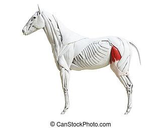 koerperbau, pferdeartig, -, latae, muskel, faszie, tensor