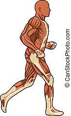 koerperbau, rennender , vektor, menschliche