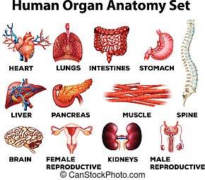 koerperbau, satz, menschliche , organ